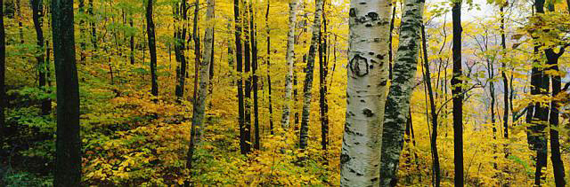 Birches and Maples in Autumn