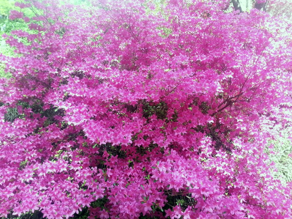 Pink Azaleas 2016