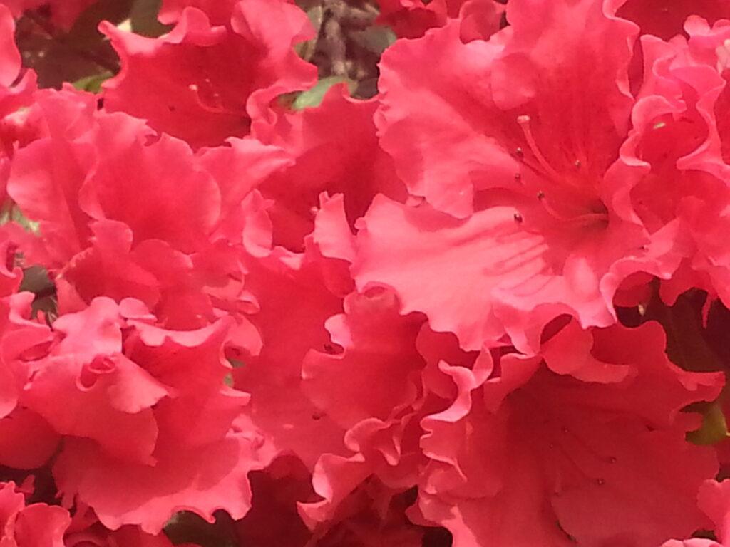 up close reddish azaleas 2016